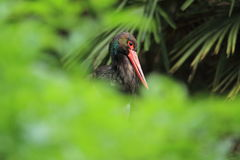 Black stork Royalty Free Stock Image