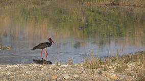 Black stork bird at Bardia National park,  Nepal Stock Photo