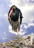 Black stork bird beak feathering   nest   red book Stock Photography