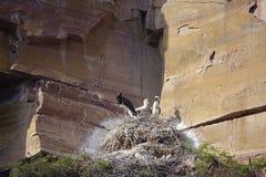 Black Stork brood Royalty Free Stock Photo