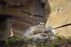 Black Stork brood Stock Images