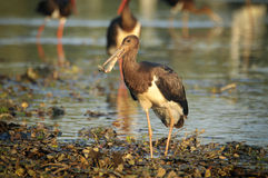 Black Stork catch fish in the old bed of the Tisza Stock Photography