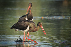 Black Stork catch fish in the old bed of the Tisza Royalty Free Stock Images