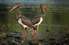 Black Stork catch fish in the old bed of the Tisza Royalty Free Stock Photography