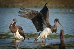 Black Stork catch fish in the old bed of the Tisza Royalty Free Stock Photos