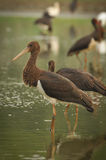 Black Stork catch fish in the old bed of the Tisza Stock Photo