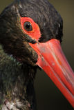 Black Stork (Ciconia nigra) Stock Photo