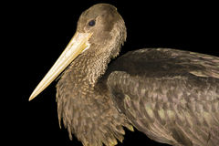 Black stork (Ciconia nigra). Young black stork isolated with black background royalty free stock photo