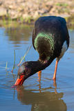 Black Stork - Ciconia nigra Stock Photo