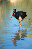 Black Stork - Ciconia nigra Stock Image