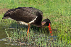 Black Stork - Ciconia nigra Royalty Free Stock Photography