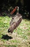 Black stork (Ciconia nigra), bird scene Stock Image