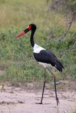 Black Stork Ciconia nigra royalty free stock photography