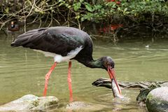 Black stork, Ciconia nigra catching and eating a fish royalty free stock photos