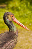 Black Stork / Ciconia nigra Royalty Free Stock Photo