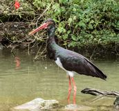 Black stork, Ciconia nigra in a german nature park. The Black stork, Ciconia nigra is a large bird in the stork family Ciconiidae royalty free stock photos