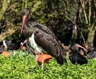 Black stork, Ciconia nigra in a german nature park. The Black stork, Ciconia nigra is a large bird in the stork family Ciconiidae royalty free stock photo
