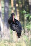Black stork,  Ciconia nigra,  in its natural enviroment Royalty Free Stock Photography