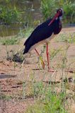 Black stork (Ciconia nigra) Royalty Free Stock Image