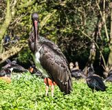 Black stork, Ciconia nigra in a german nature park. The Black stork, Ciconia nigra is a large bird in the stork family Ciconiidae stock images