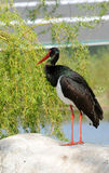 Black stork Royalty Free Stock Photo