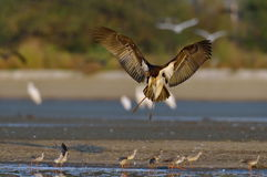 Black Stork - Ciconia nigra Stock Images