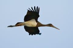 Black Stork - Ciconia nigra. Black Stork in natural habitat - Ciconia nigra royalty free stock images