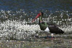 Black stork Ciconia nigra, searching for food among flowers. Black stork Ciconia nigra, searching for food in the water among flowers royalty free stock photo
