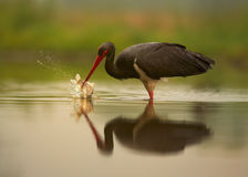 Black Stork, Ciconia nigra with splashing fish. Close up Black Stork, Ciconia nigra, on hunt in shallow lagoon reflecting orange sky and green background, with royalty free stock images