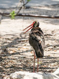 Black stork - Ciconia nigra - stands in the afternoon stands  on the shore of the reservoir Stock Images