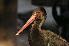 Black Stork Stock Images
