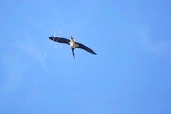 Black Stork Royalty Free Stock Image