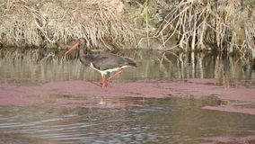 Black stork eating duckweed. Black stork Ciconia nigra is eating red duckweed lemna minor in a canal full of water and reeds stock footage