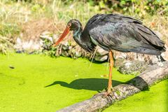 Black stork on the edge of the lake royalty free stock photography