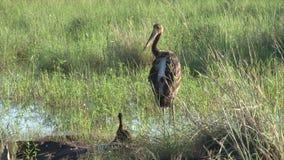 Black Stork family stock video footage
