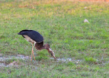 Black Stork with fish Royalty Free Stock Image