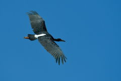 Black stork flying against the sky Stock Photos