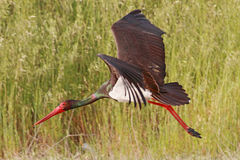 Black Stork Flying Royalty Free Stock Photo
