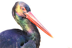 Black Stork head isolated on white Stock Photos