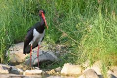 Black stork Stock Image