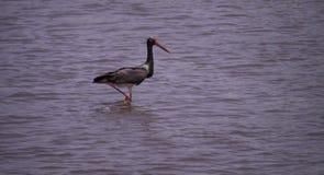 Black stork on Nature Reserve at Skala Kalloni Lesvos Greece Royalty Free Stock Photography