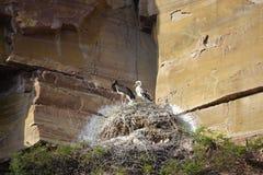 Black Stork nest Royalty Free Stock Images