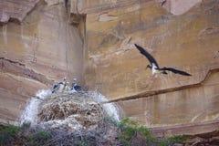 Black Stork nest Stock Photo