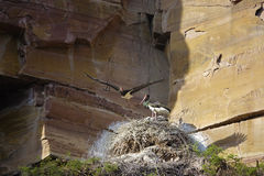 Black Stork nest Royalty Free Stock Image