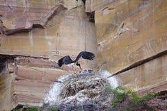 Black Stork nest Stock Photography