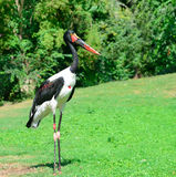 Black stork in the  park Royalty Free Stock Images