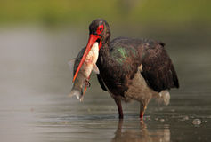 Black Stork. The picture was taken form a hide in Hungary Royalty Free Stock Photos