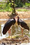 Black stork Stock Photos