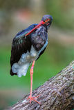 Black stork posing. A black stork standing on one leg on a branch Royalty Free Stock Images
