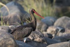Black Stork in Ranthambhore N.P. - India Royalty Free Stock Photography